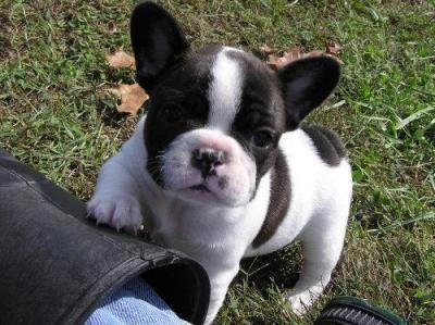 Fransk bulldog valpar för antagande.