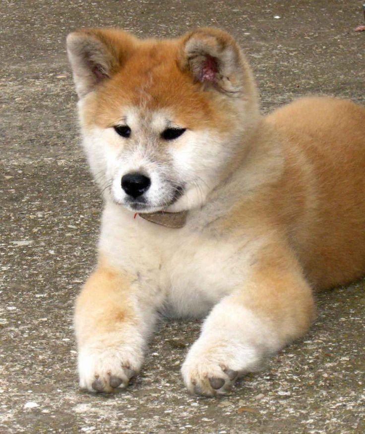 japanese akita puppies wallpapers