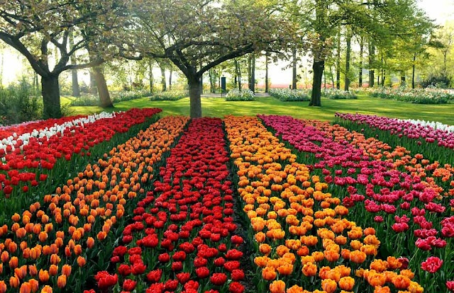 Keukenhof, Holland. Tulip beds.