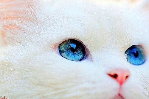 White kitten with REALLY blue eyes