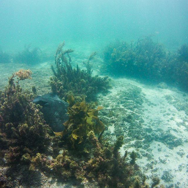 So many beautiful Eagle Rays hanging in the warm shallow waters here at #goatislandmarinereserve. Watch out for a video of their graceful swimming in the near future! . . . . . . . #eagleray #ray #stingray #splashdive #splashteamnz #underwaterisourworld #seac #sherwoodscuba #atlantis #newzealand #freediving #scuba #marinelife #sealife #sealifemicrohd+ #uwphotography #underwaterphotography #travel #dive #scubadiving