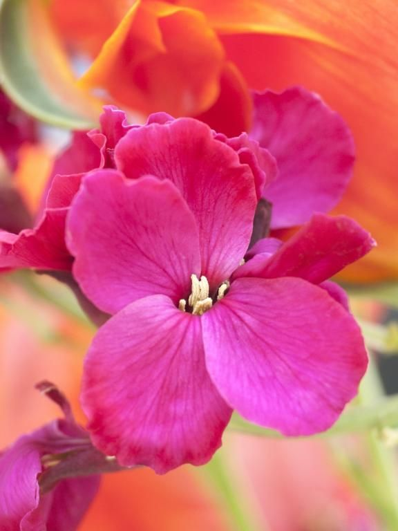 Erysimum cheiri, 'Giant Pink' biennial. To sow this year for flowering next Spring with my marmalade daffodil and tulip scheme in the bright border. Can't wait.