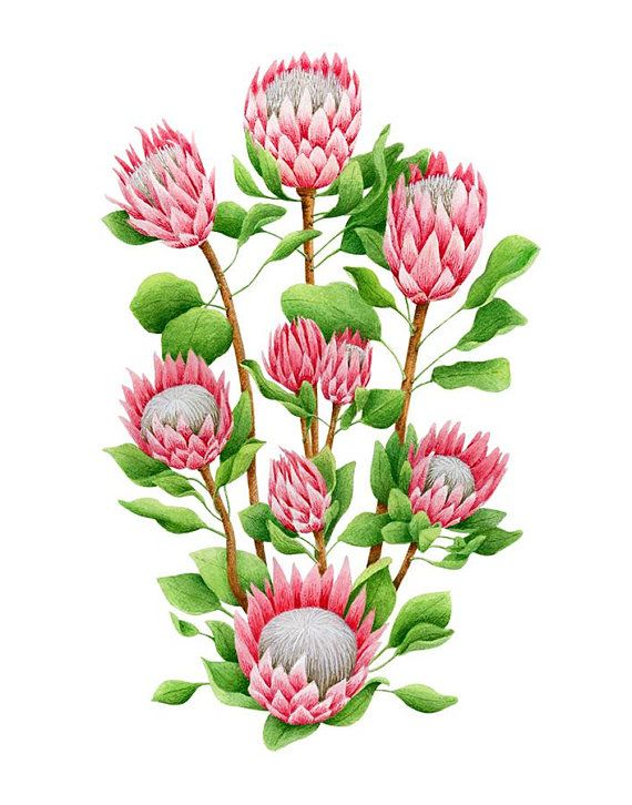 King Protea Giclee Print Watercolor Botanical Art Etsy Flower Art Flower Drawing Digital Flowers
