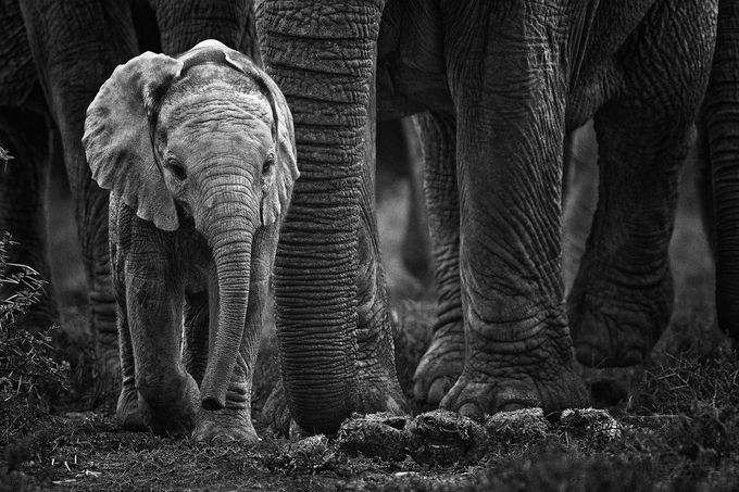 "Photo ""Elephantcalf....""MyownMission""."" by michaelpricePHOTOS"