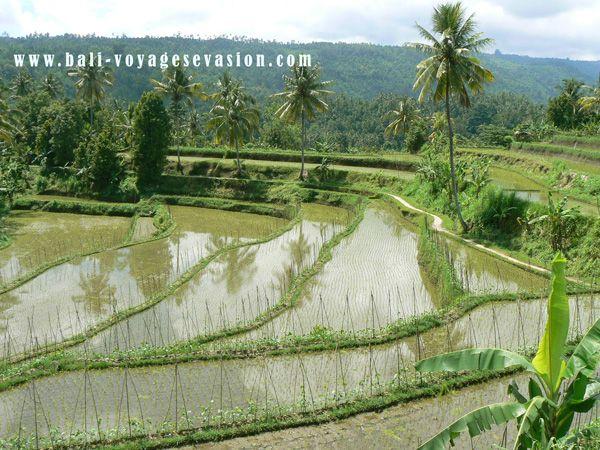 Rizières en terasse à Bali