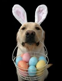 HAPPY EASTER and keep your furry kids SAFE!   Popular items found in Easter baskets can be EXTREMELY TOXIC to dogs and cats.  Important toxins to watch out for:  ~Chocolate & candy ~Plastic eggs or real eggs ~Easter grass ~Gum ~Easter lillies ~Also, whether eggs are real or fake, make sure your dog doesn't find one in the yard days after an egg hunt.