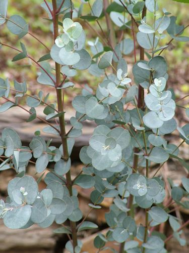 Silver Dollar Gum Tree - wedding must-have. Just go plant one in your backyard now, I don't care if your 12 years old, this foliage will stay current! Plant it!