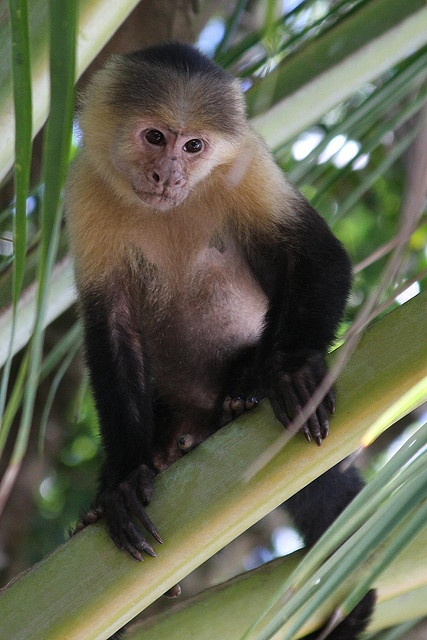 Cute Little Capuchin Monkey!!! First of all- monkeys are my fav animal and capuchin monkeys are my favorite type of monkey. So, there you have it- my favorite animal which I LOVE LOVE LOVE are capuchin monkeys!!!!