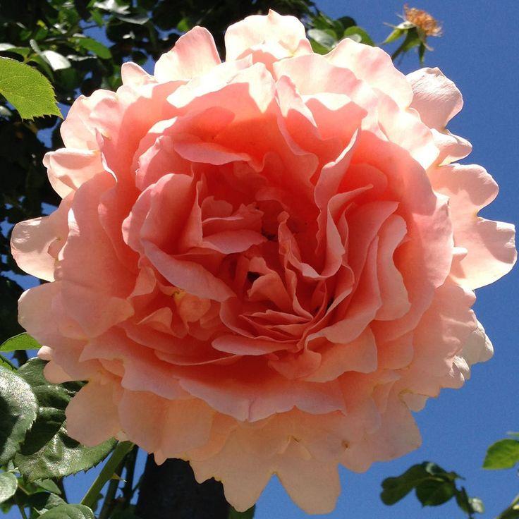 тому это роза полька описание и фото хотите удивить свою