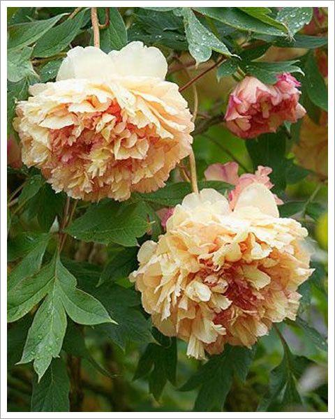 Piwonia drzewiasta Souvenir de Maxime Cornau [#127] | ŚWIATCEBUL.pl \ Piwonie ŚWIATCEBUL.pl \ POMARAŃCZOWY | Świat Cebul.pl... tu zaczyna się Twój ogród. Cebulki kwiatowe, bulwy i kłącza.