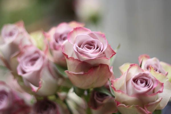 Memory Lane Roses are a pretty pink variety perfect for a #wedding