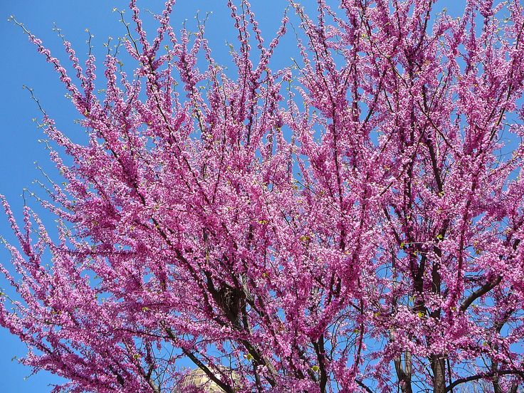 Growing redbud trees is a great way to add brilliant color to your landscape. In addition, the care of redbud trees is easy. Read the following redbud tree information to learn how to care for a redbud tree.