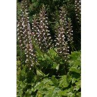 Zachte acanthus (Acanthus mollis)