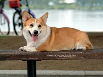 Pembroke Welsh Corgi... This is the exact breed I want of Corgis