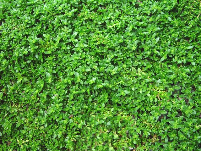 1000 images about ground cover on pinterest plants for Best low growing groundcover for full sun