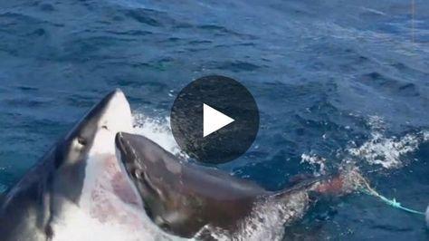 Un plongeur a filmé une scène exceptionnelle en Australie : l'attaque d'un grand requin blanc par un autre grand...