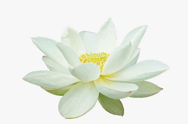 Beautiful Lotus Png And Clipart Beautiful Clip Art Background Images