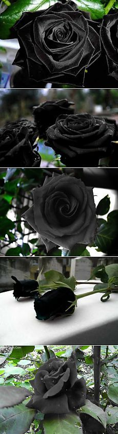 Невероятно красивые черные розы деревушки Halfeti. | Мой мир в фотографиях