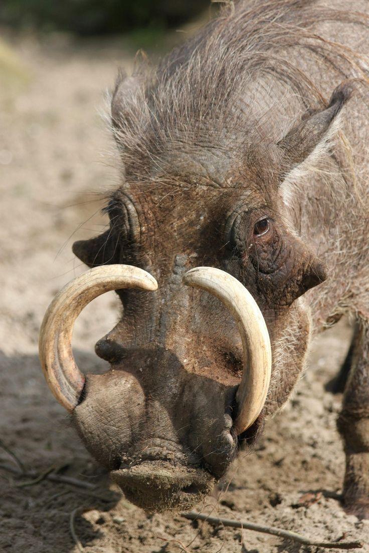 Warthog; Beauty by Dinky Boshart on 500px