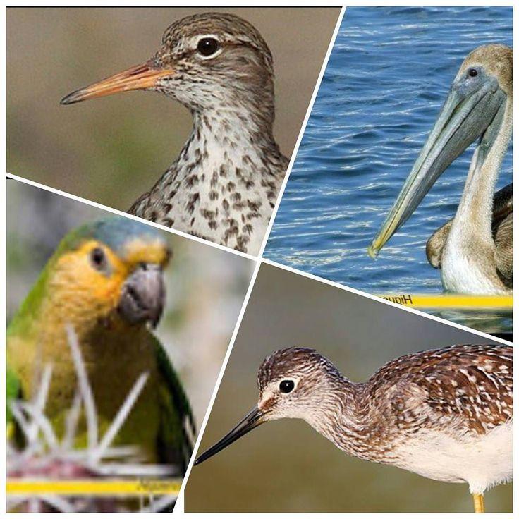 Descubre en nuestro portal higueroteonline.com una completa Guía de Observación de Aves de la Isla de la Tortuga ##naturaleza #aves #ecoturismo #turismo #ambiente #fauna # conservación #ornitologia #isladelatortuga  #playa #arenitaplayita #Higuerote #Barlovento #Miranda # investigación