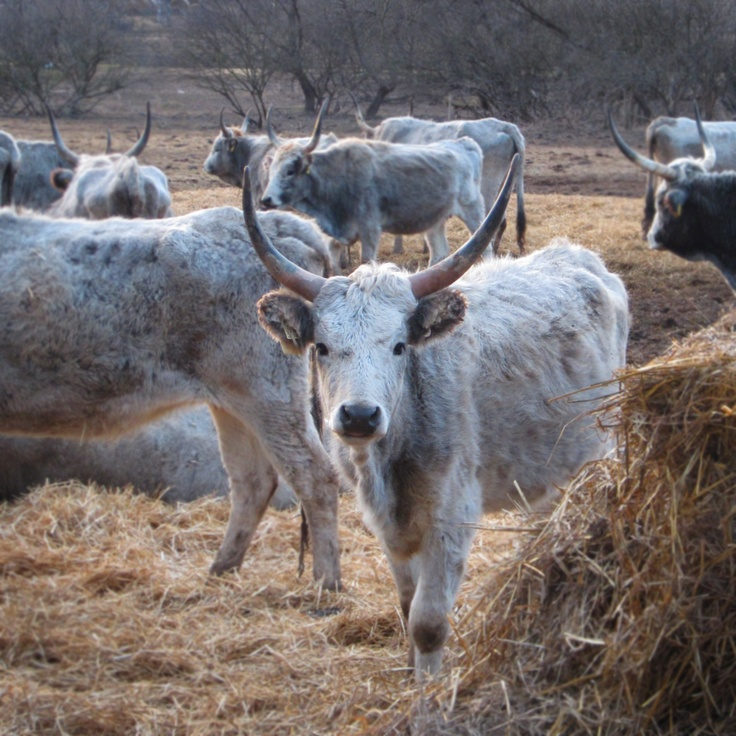 Hungarian Grey Cattle, it has the most healthy and delicious beef in the country.