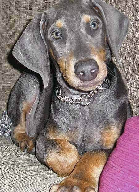 A blue doberman