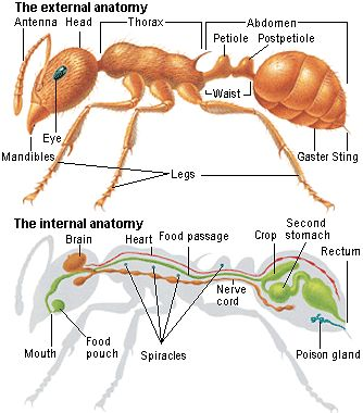 Parts Of An Ant Worksheet Http Kootation Com Body