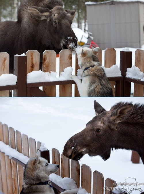 Husky and Moose