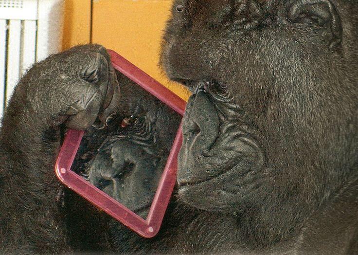 koko the gorilla - photo #23