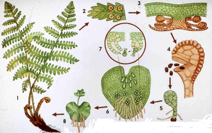 Life cycle of a fern Ferns Pinterest Life cycles