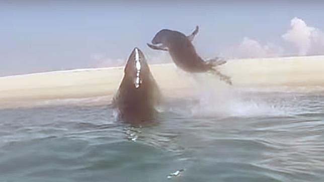 Así logró una foca escapar del ataque de un tiburón blanco http://www.abc.es/tecnologia/redes/20150820/abci-youtube-foca-tiburon-blanco-201508200902.html#