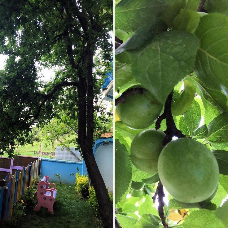 Her sene olduğu gibi bu sene de erik ağacımız meyvelerini verdi. Çocuklarla birlikte dalından koparıp yediğimiz erikler, içtiğimiz kompostolar için minnettarız ���� İstanbul'un ortasında yaşadığımız doğal güzellik; seninle birlikte çok mutluyuz ❤️ #erik #montessori #cevizagacimontessori #ağaç #bahçe #organik #yaşam #doğal #güzellik #istanbul #çamlıca #meyve http://turkrazzi.com/ipost/1523732651469627780/?code=BUlYsX_guGE