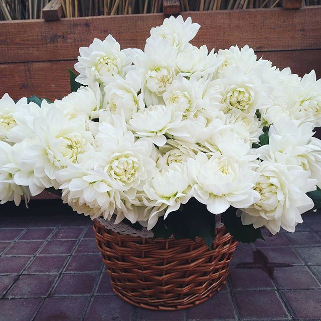 Aranjament cu dalii albe în cos.  White dahlias in a basket.