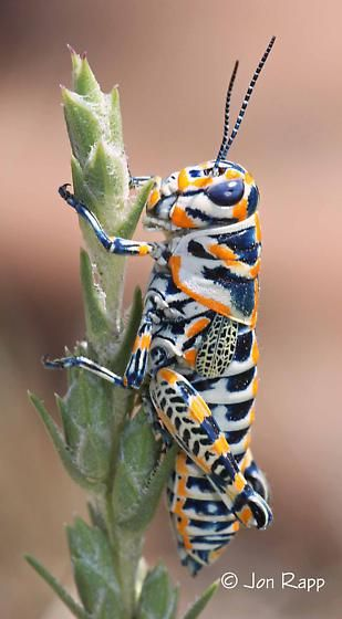 Painted Grasshooper (Dactylotum bicolor) found on the Western Plains of the United States