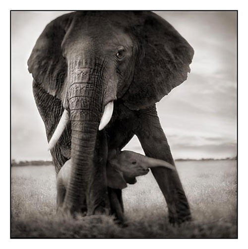 Elephant Mother with Baby Holding Leg, Serengeti 2002Mom Baby, Baby Elephant, Mothers, Beautiful Animal, Nick Brandt, White, Rolls Tide, Black, Photography