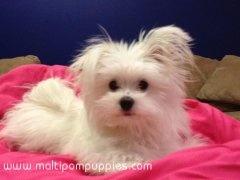 Maltipom puppy Martini Maltese & Pomeranian mix