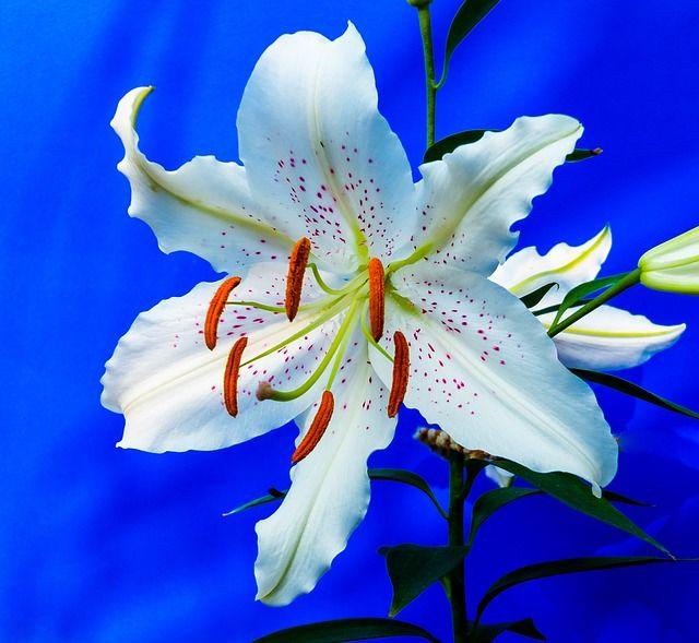 Lírio, Flor, Branco, Pontos Roxos, Floresceu