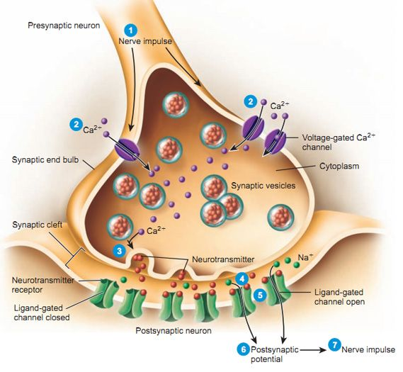 Nerve Synapse The neuromuscular junc...
