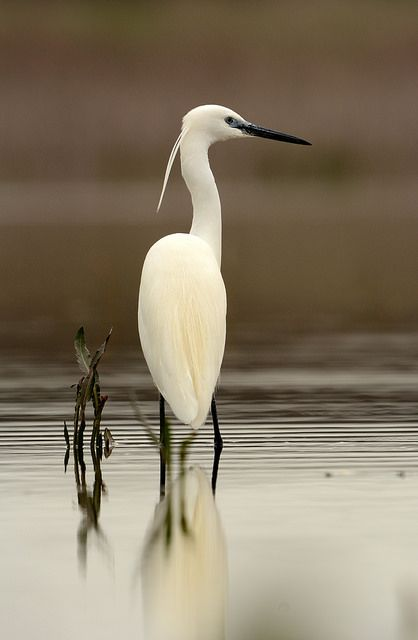 Egret | by Alex_Appleby on Flickr.