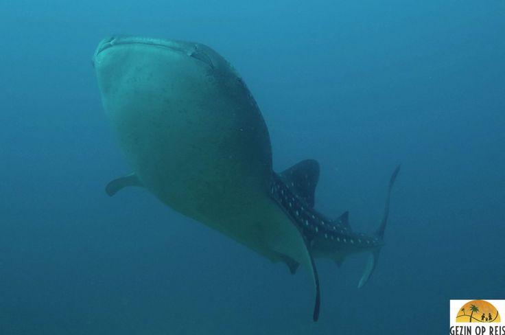 Haaien gegarandeerd: duiken Isla de Coiba Panama