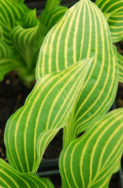 Hosta - 'Mito-no-hana'   Klehm's Song Sparrow Farm and Nursery: Nursery Hosta Mito No Hana, Yellow Stripes, Songs Sparrow, Purple Flowers, Sparrow Farms, Klehm Songs, Shades Gardens, Hosta Plants, Hosta Gardens