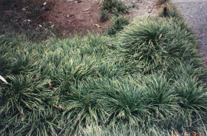 foto de vegetales de: Ophiopogon japonicus