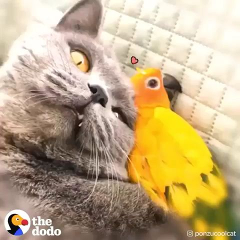 This parrot jumps on her favorite cat's back whenever she wants to go for a walk with him 💚 (🐱🐤