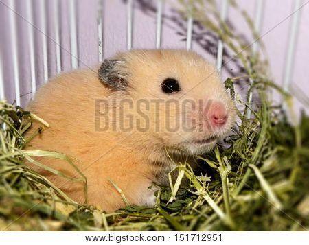 Teddy Bear Hamster.