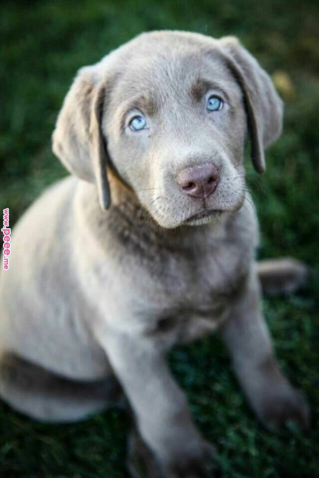 Silver Labrador Lab Puppies Puppies Dogs