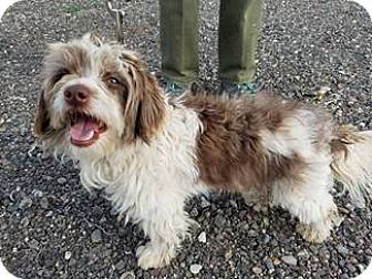 Chandler, AZ - Shih Tzu/Maltese Mix. Meet PATCHES - Sweet Lil Guy, a dog for adoption. http://www.adoptapet.com/pet/17787023-chandler-arizona-shih-tzu-mix