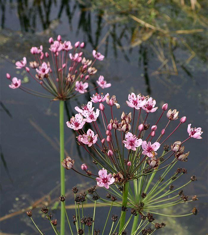 Zwanenbloem/ Butomus umbellatus (vijver)