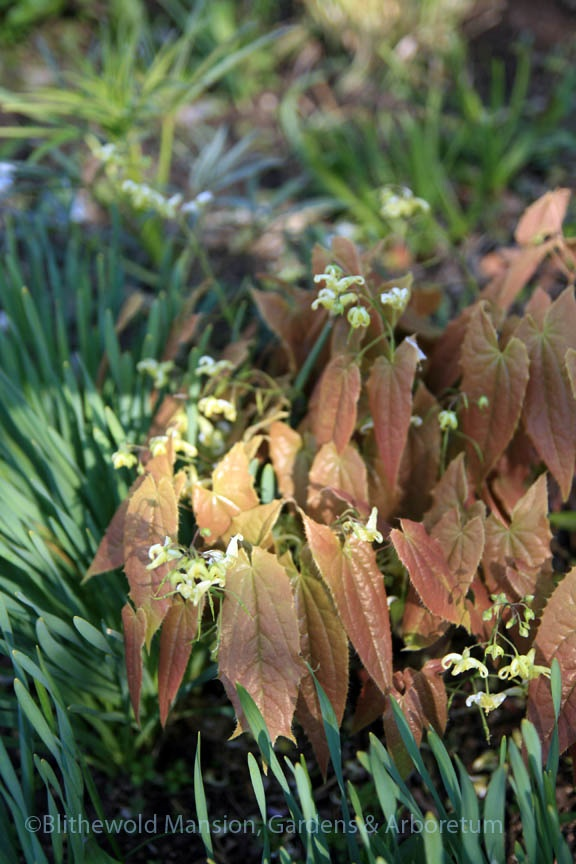 Epimedium franchetii in the dry shade bed