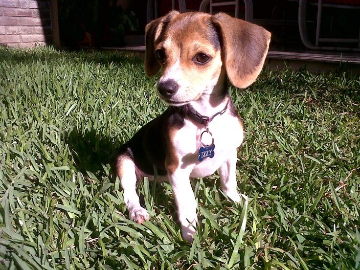 my mini beagle