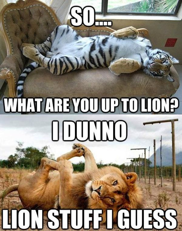 84 best lion memes images on pinterest ha ha funny stuff and big cat humor so what are you up to lion i dunno lion stuff i guess sciox Image collections